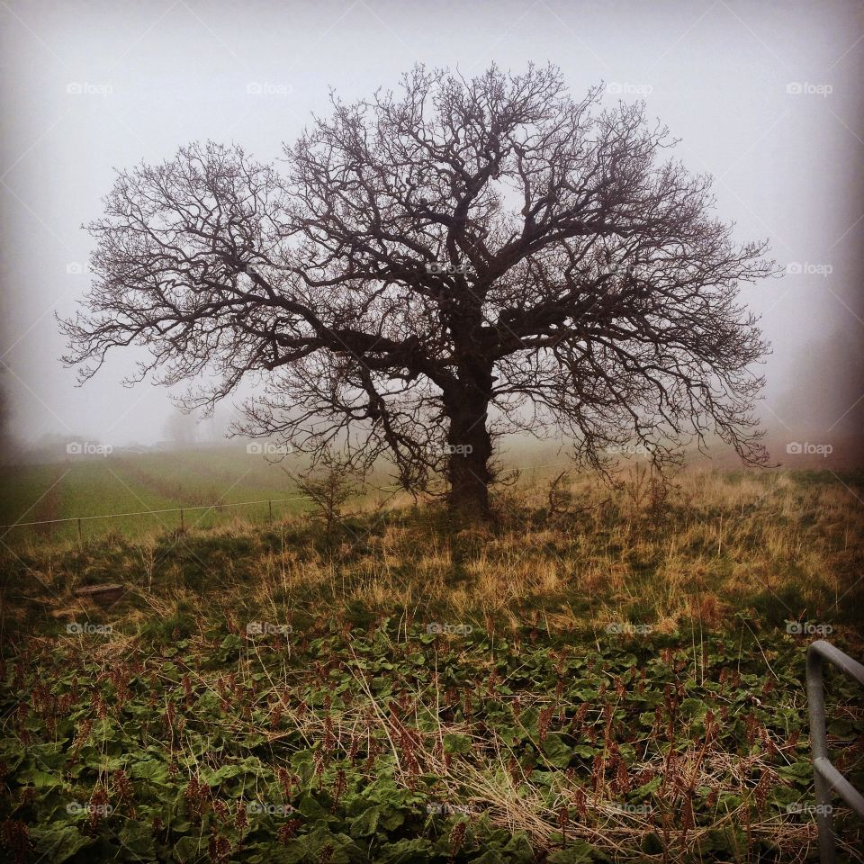 Tree, oak . Fog