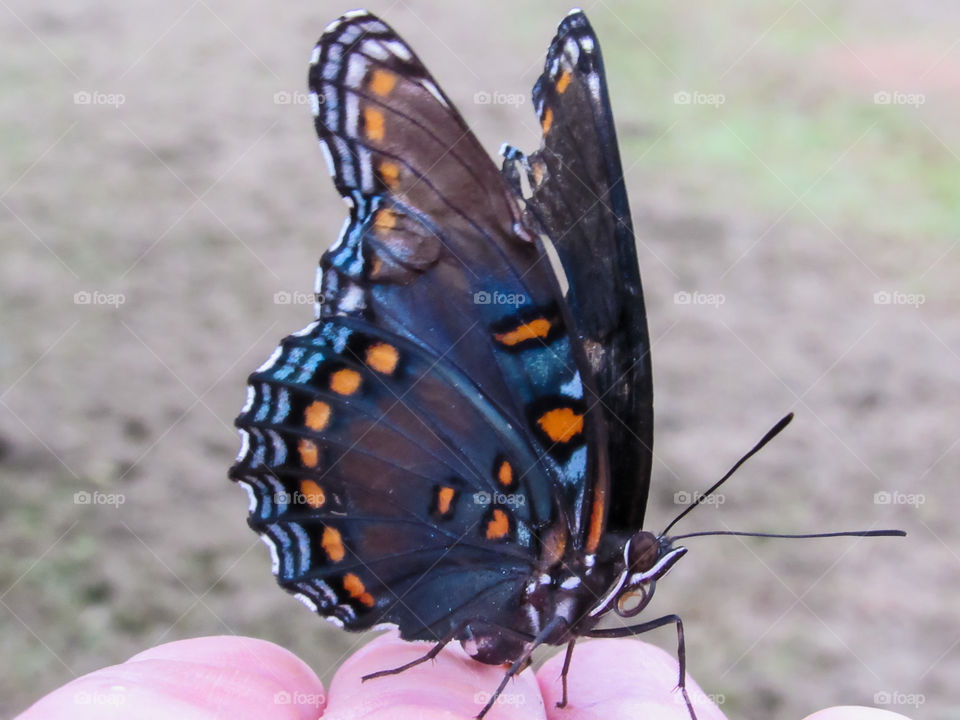 black and blue swallowtail butterfly sitting on finger tips outdoors