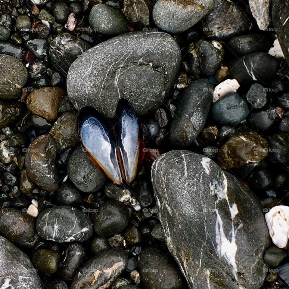 Muscle shell on stone beach