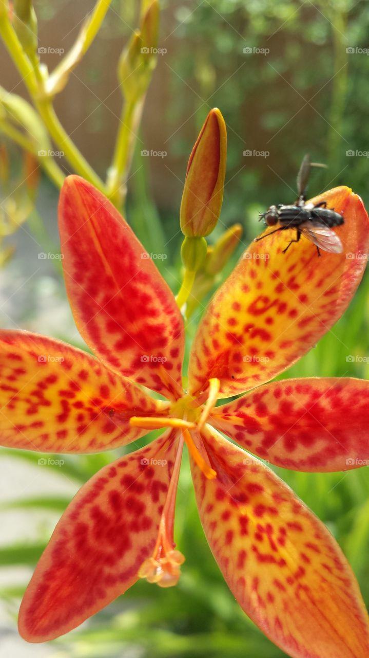 Fly on the orange  flower