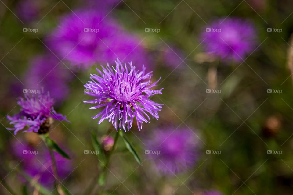 Cornflowers that grows abundantly on the island of aland in finland