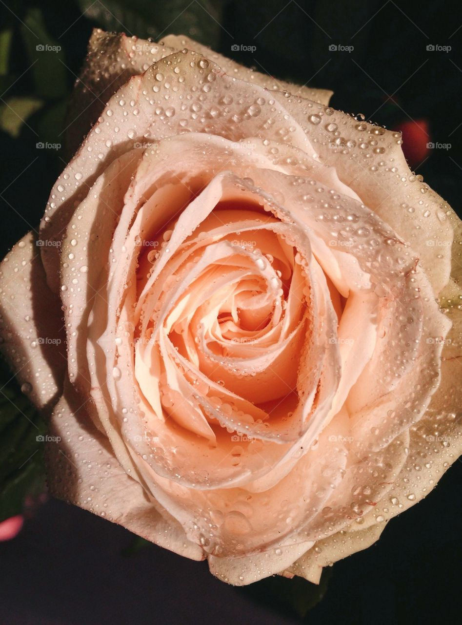 Rare rose covered with dew...