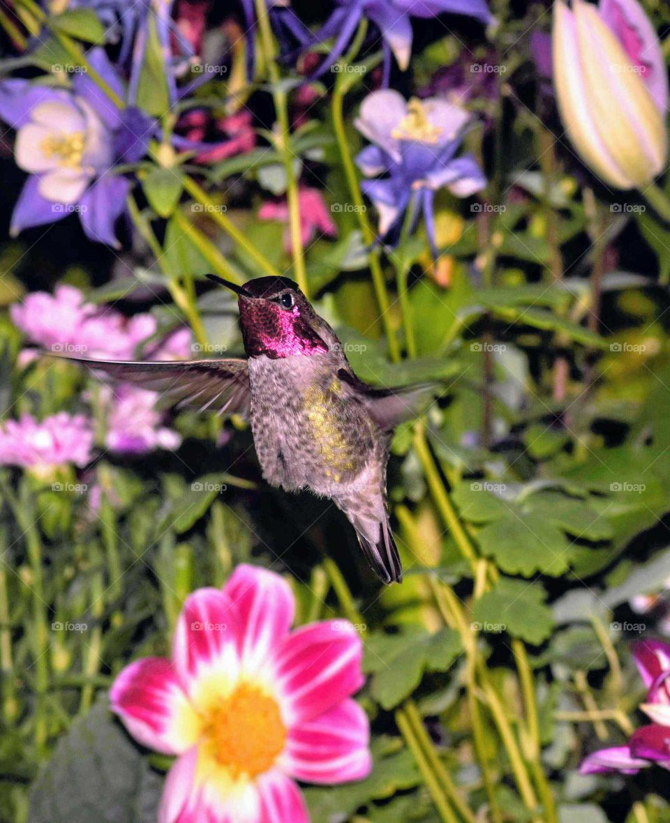 red headed hummingbird in flight with Columbine carnations and dahlias May 2nd 2018