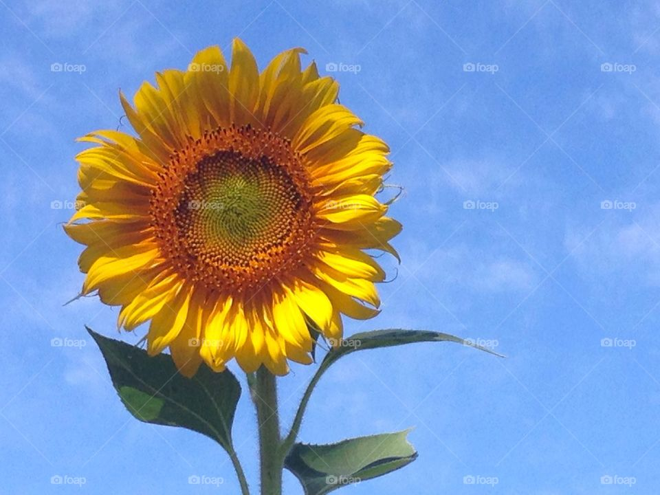 Sunflower | muneca, sunmer, blue sky, natural