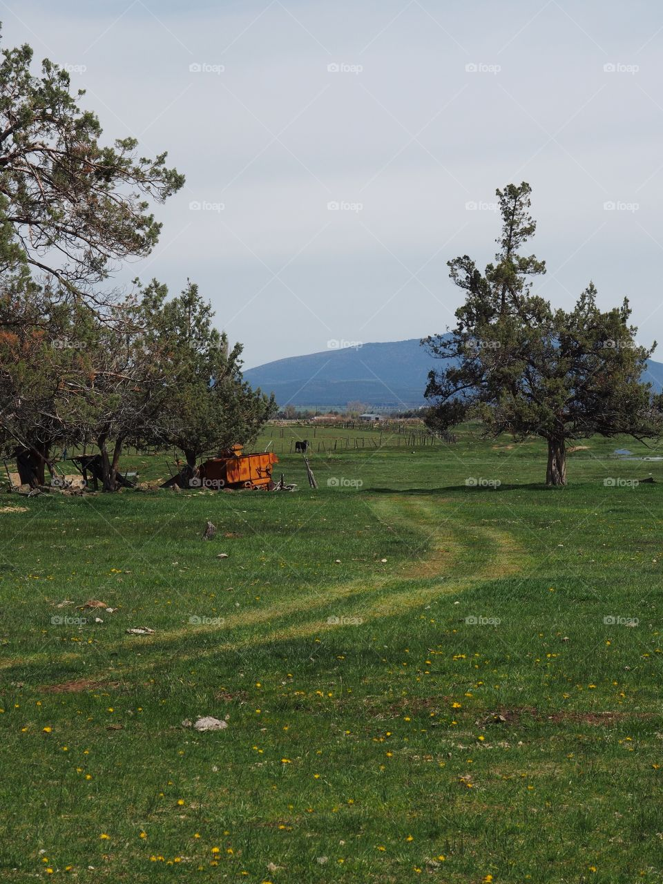 A trail through a green pasture curves through juniper trees to transport equipment and feed on a spring morning in Central Oregon.