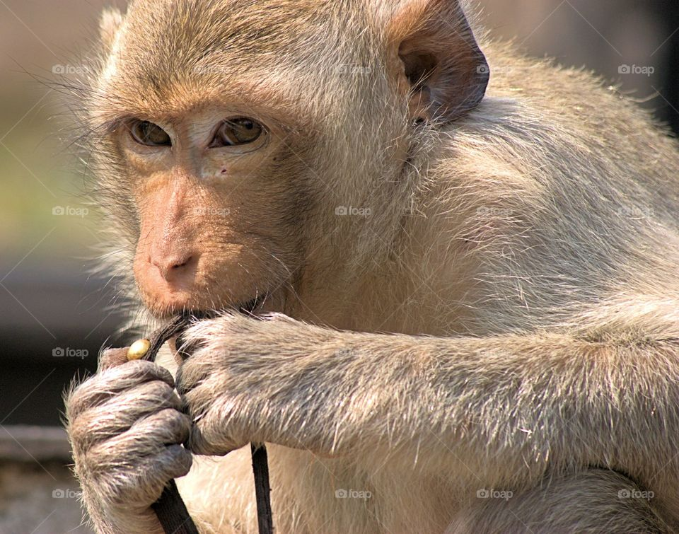 A portrait on a wild Long Tail Macaque monkey seated on the street in  the town of Lopburi, Thailand.