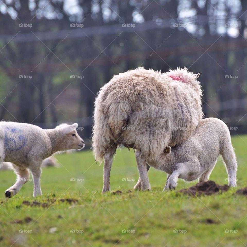 lambs and ewe
