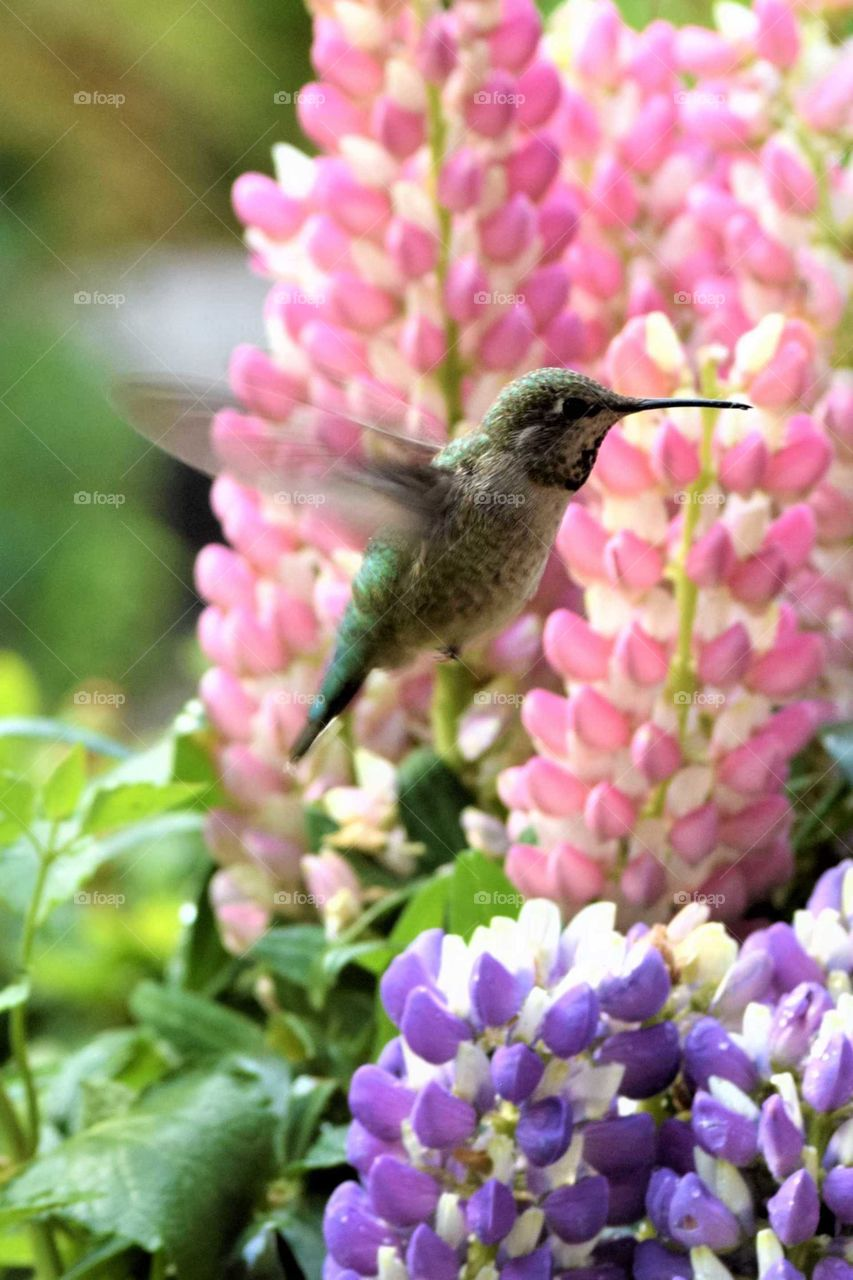 hummingbird with flowers lupine pink, blue June 13 2019