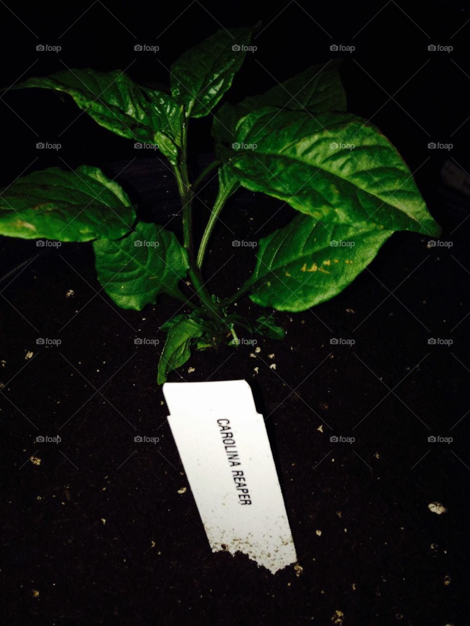 Carolina reaper pepper plant . Potted hottest pepper on the world