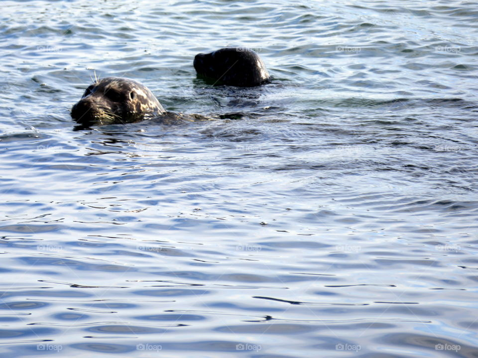 seals in the cold Canadian water