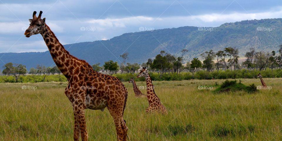 High angle view of giraffe in grassy landscape