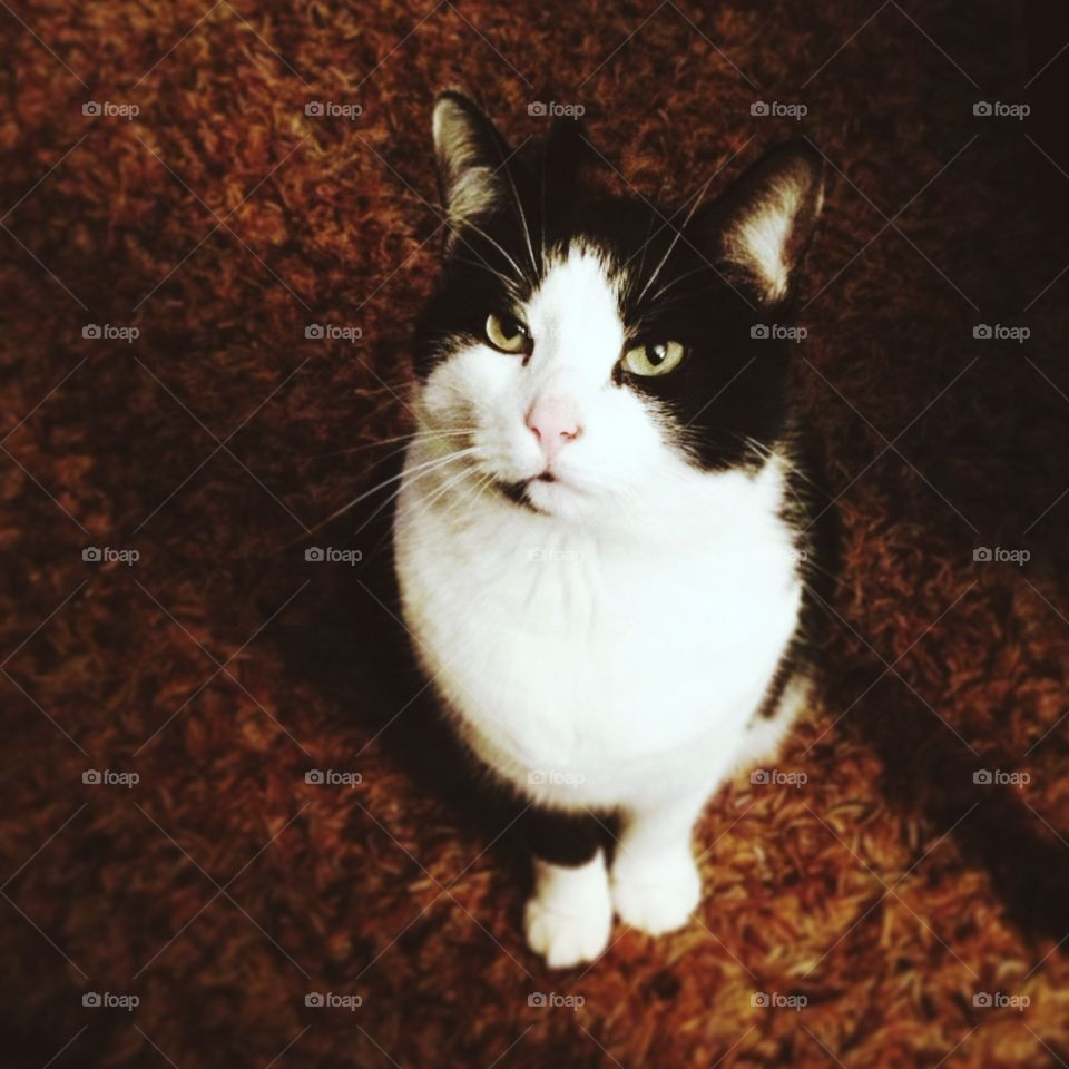 Grumpy cat. Annoyed black and white cat