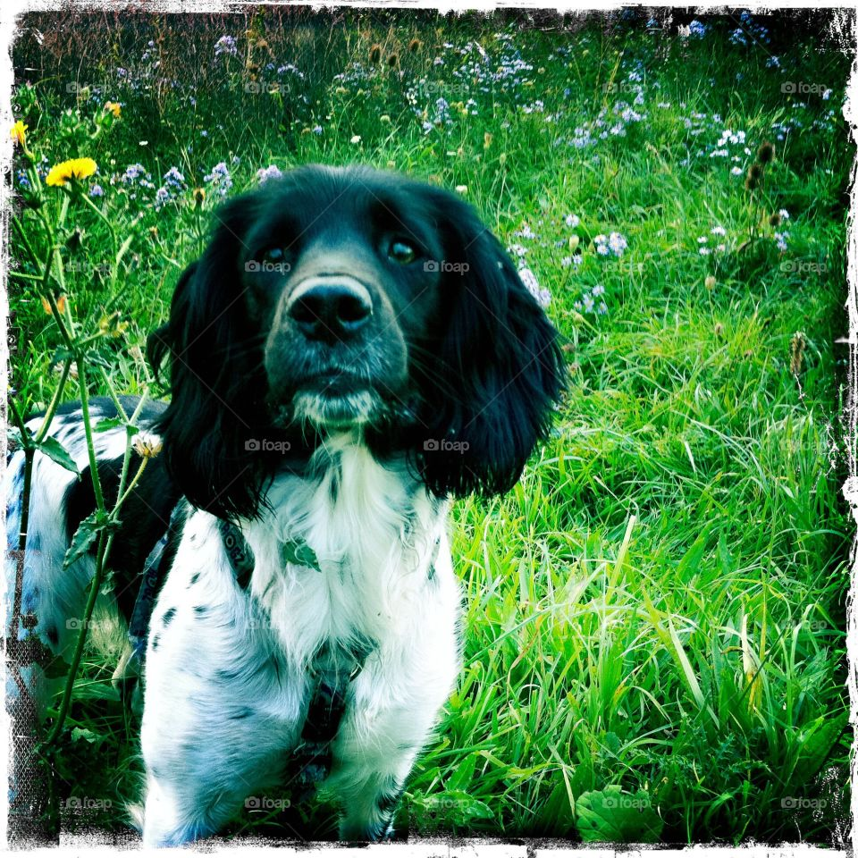 That look on her face . Intent alert look on springer spaniel
