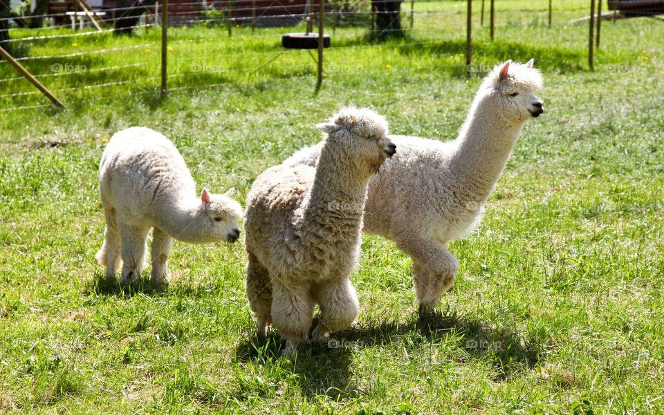 White lamas.
