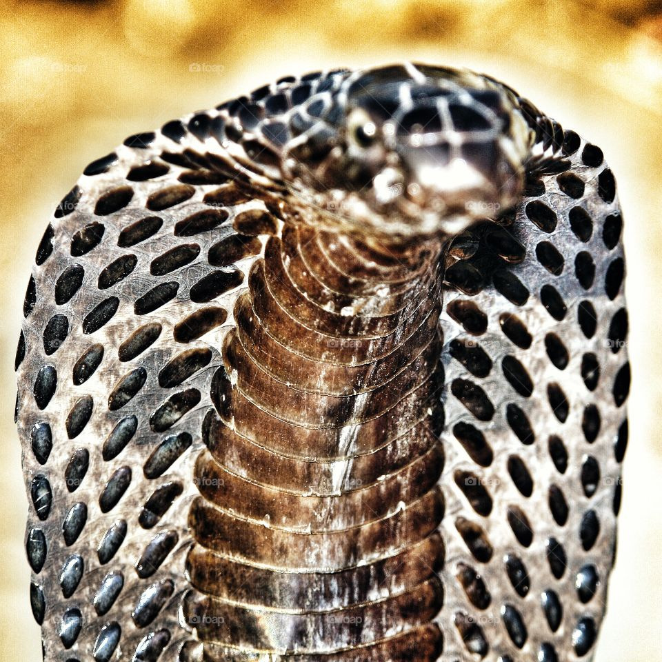 Cobra close up head and hood. Cobra close up head and hood