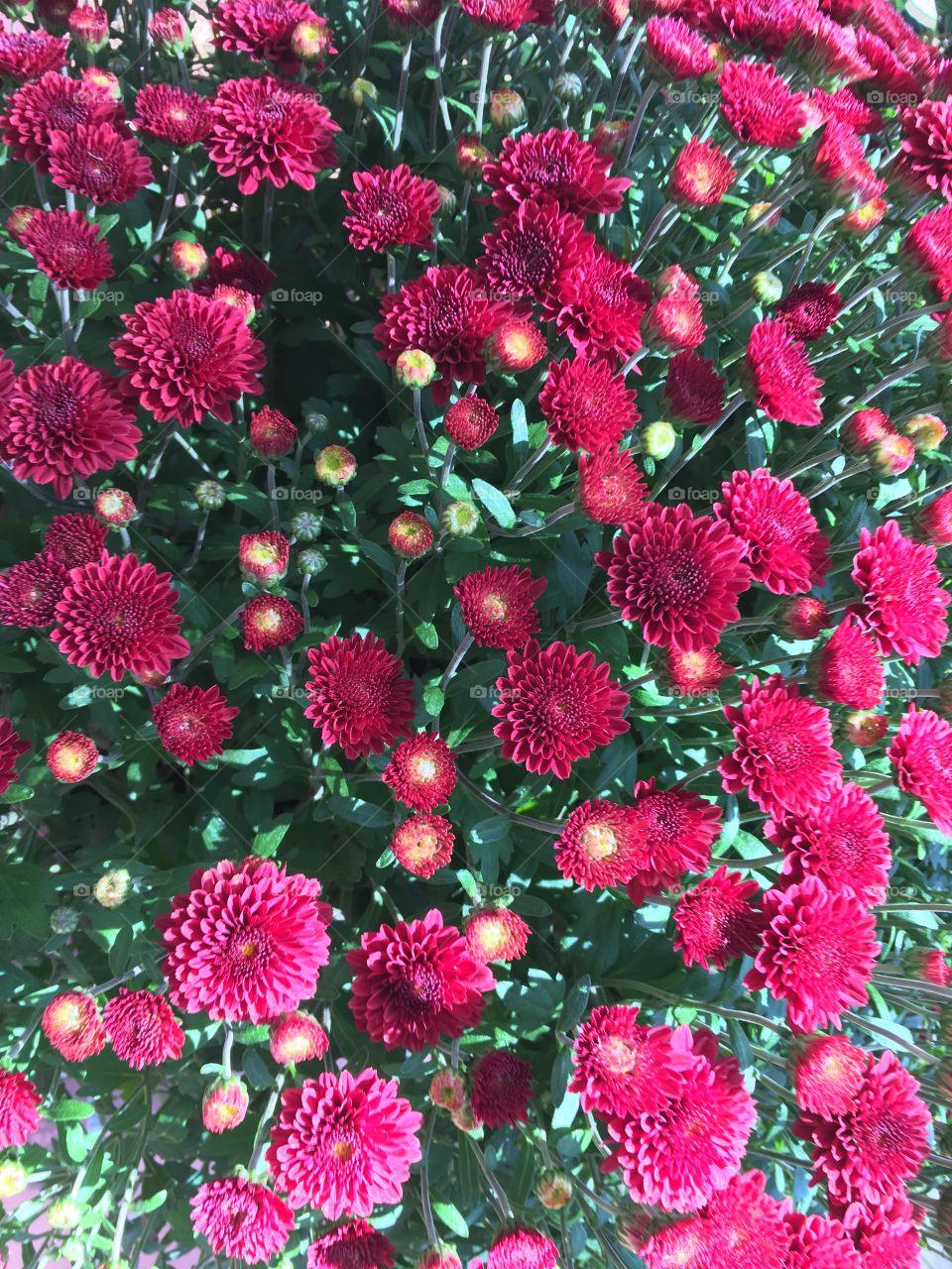 Mums closeup red