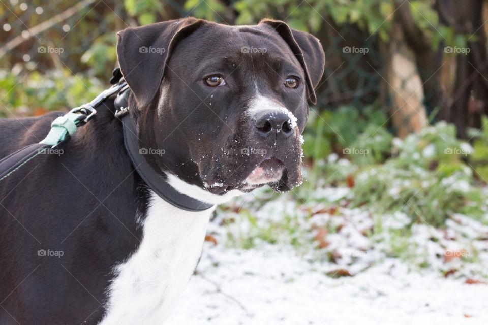 First snow puppy dog , första snön hund valp Amstaff