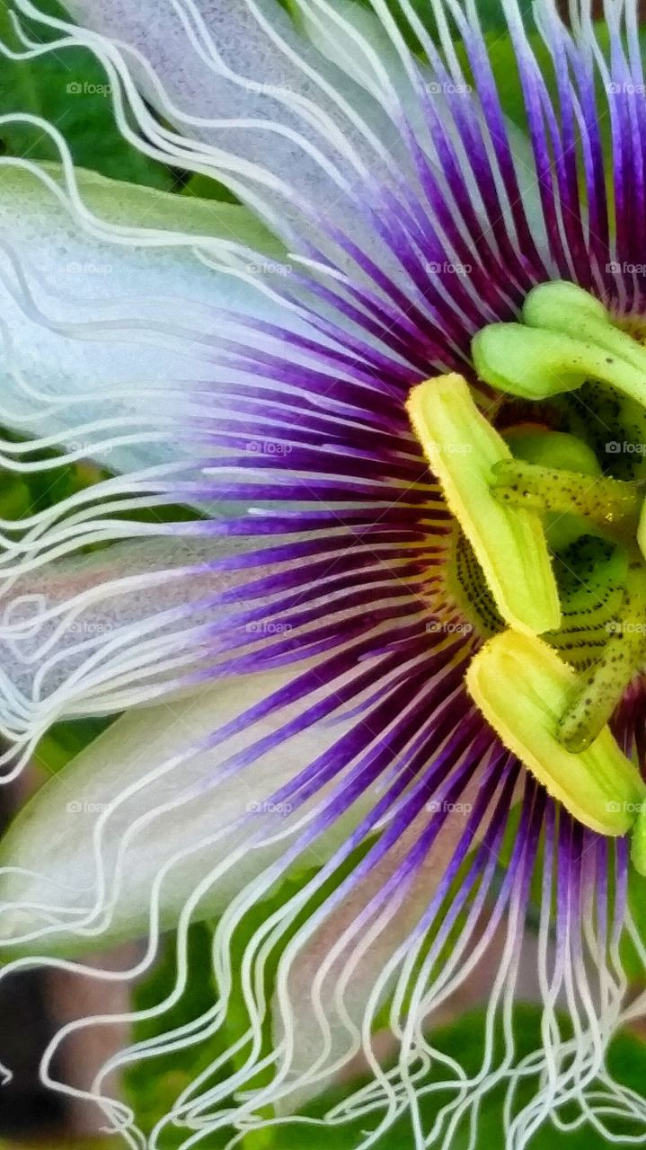 Purple Passion Flower. Passion flowers blooming on the vines in the garden.