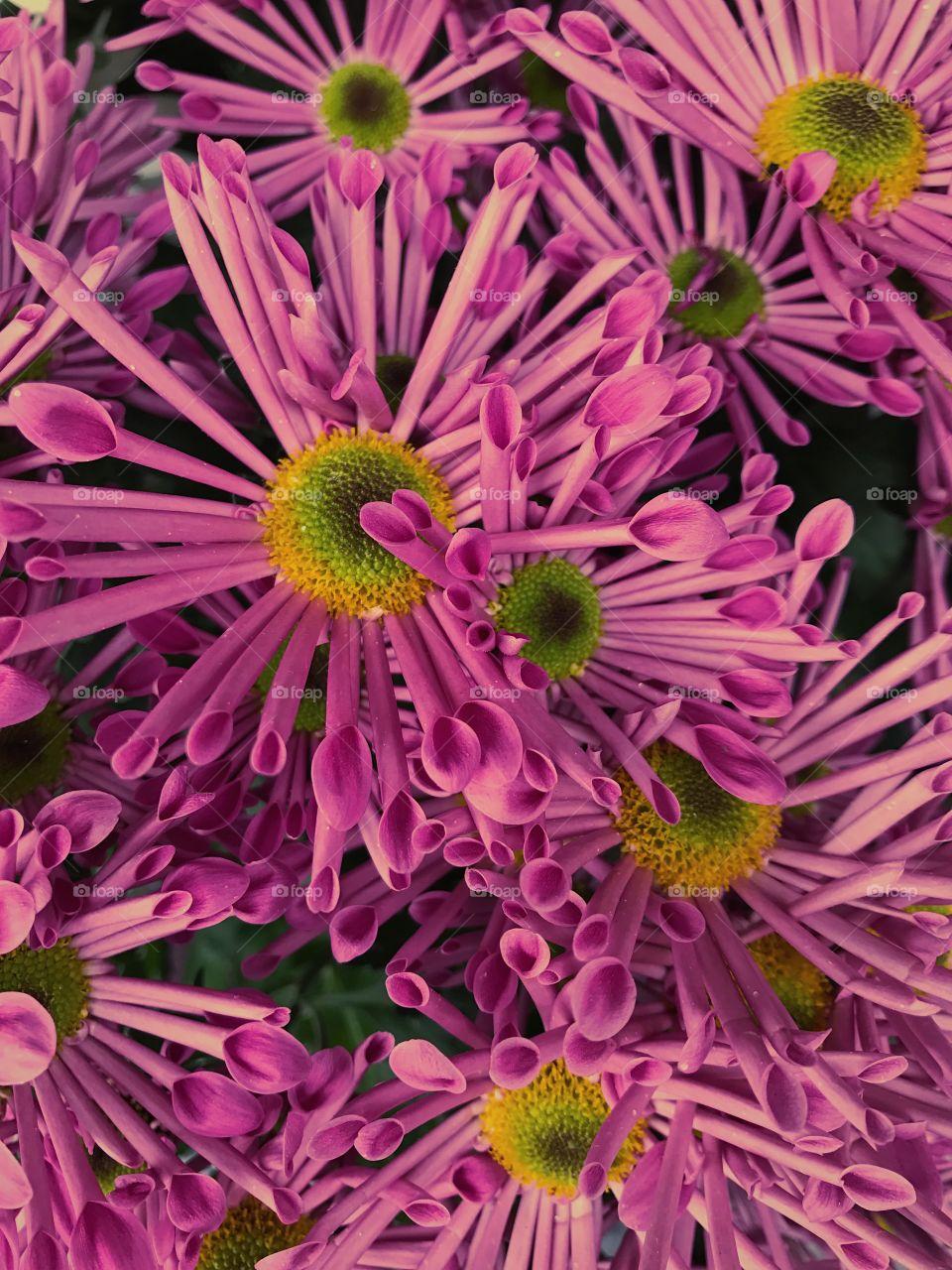 Flutes daisies