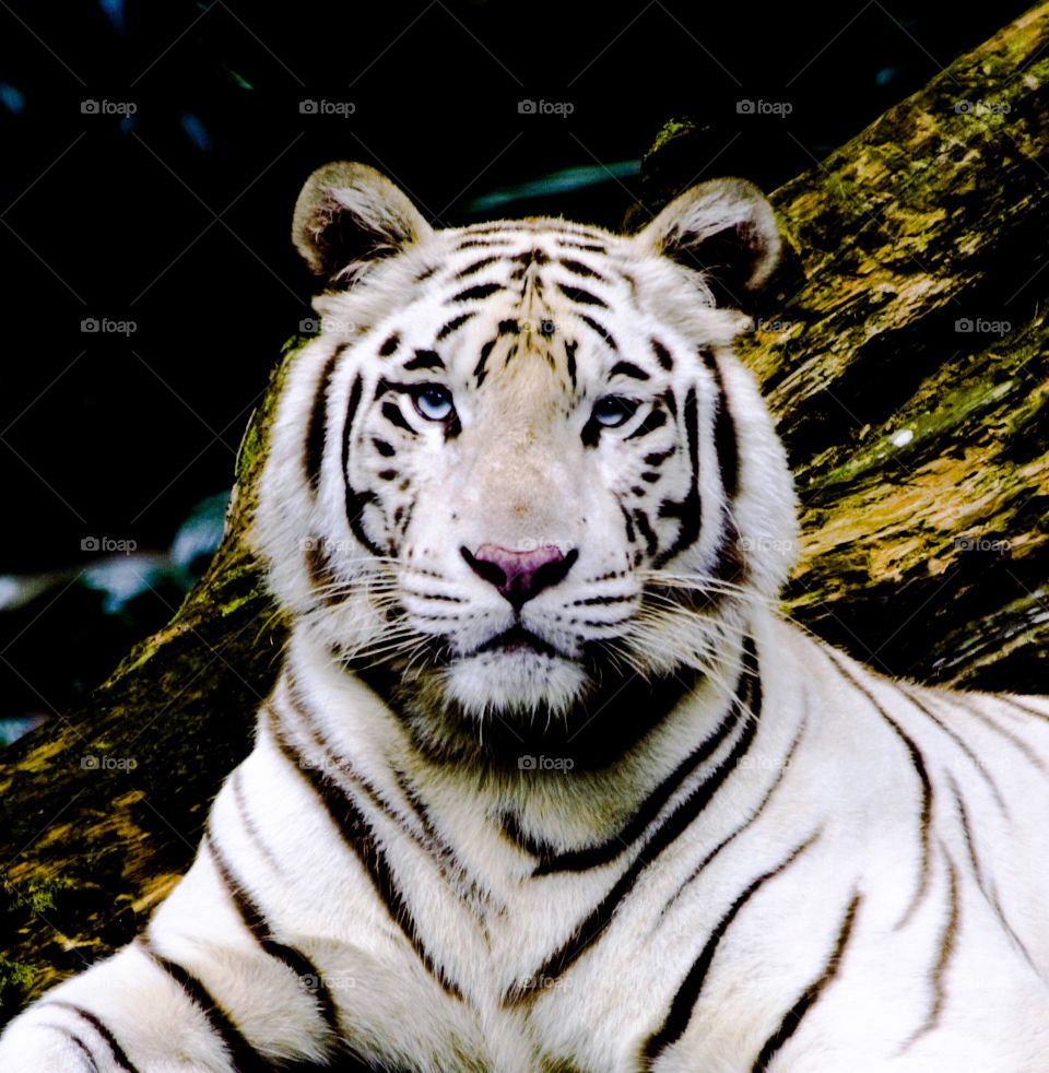 Eye to eye with an awesome white tiger.