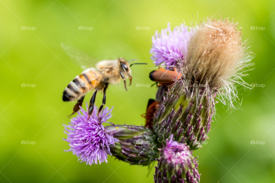 honeybee and the thistles