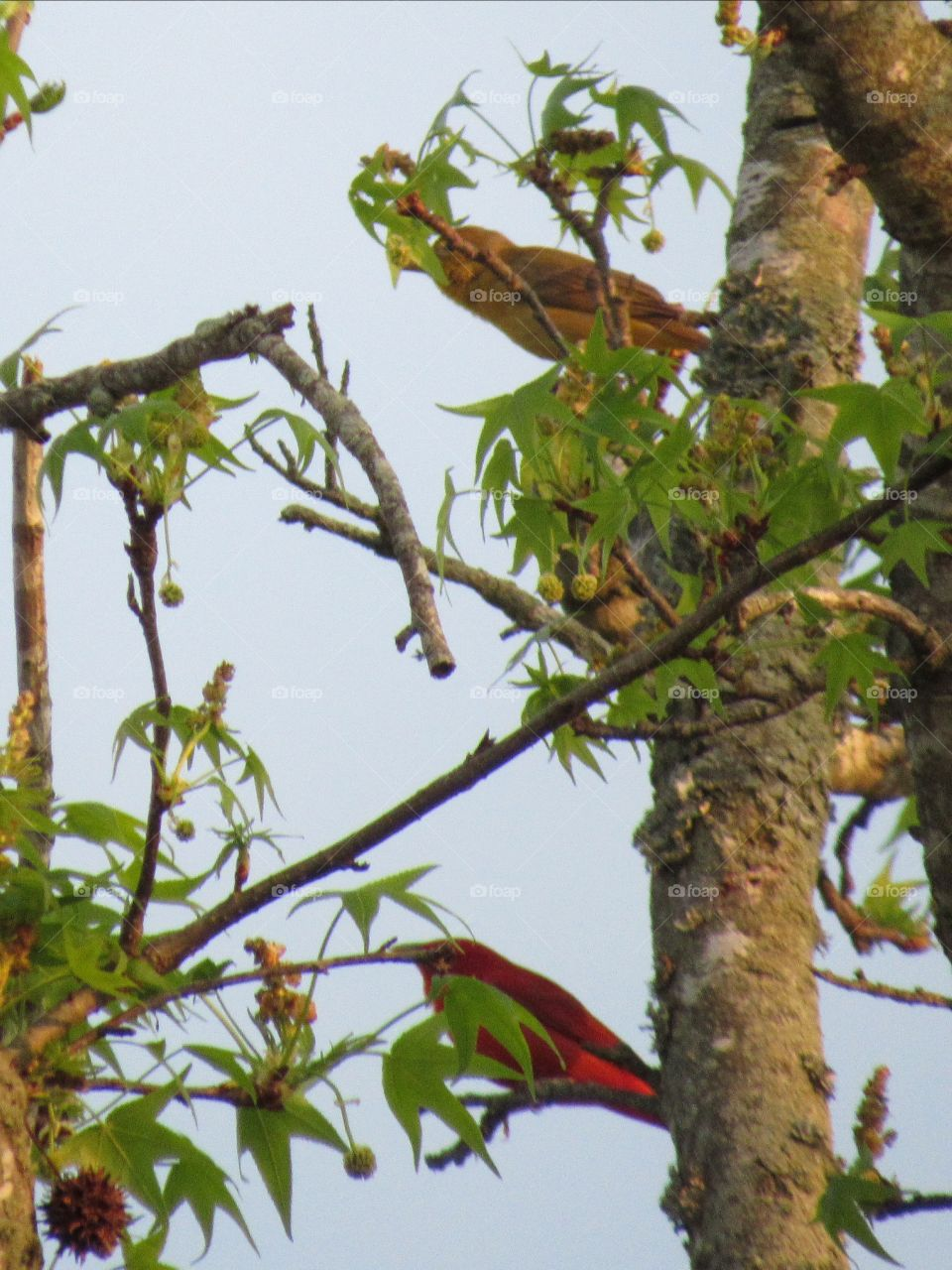 Male (bottom) and female (top) summer Tanager in a sweet gum tree