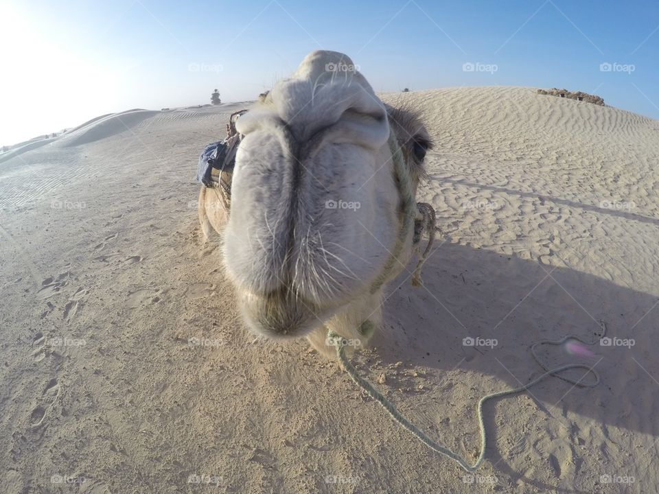 Close up of a camel/ camel ride in the desert
