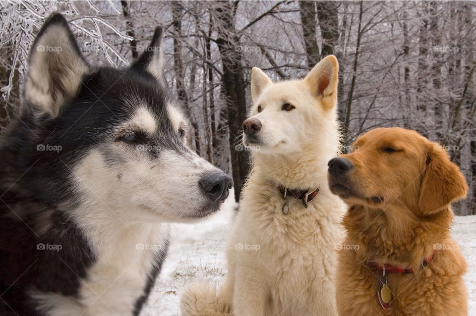 A husky a German Shepherd wolf and a golden retriever pose for the