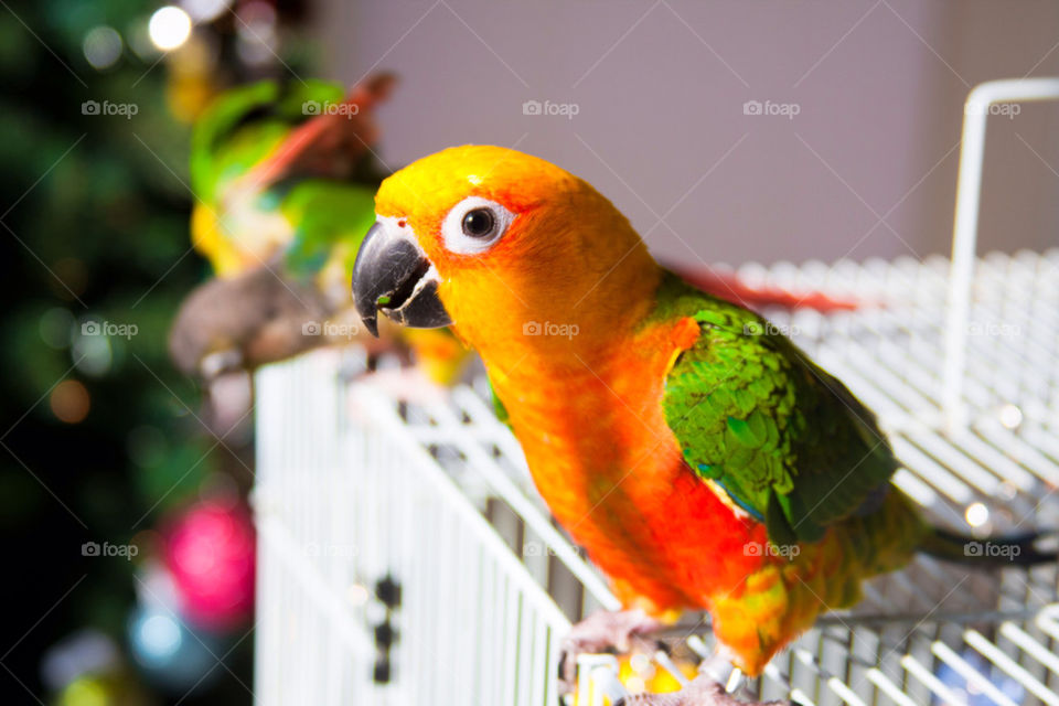 Sun conure and his friends