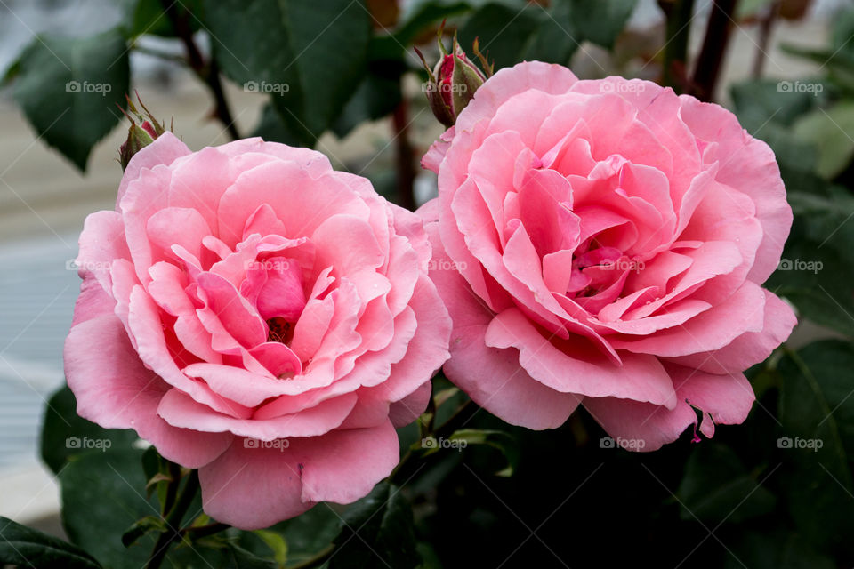 Pink roses blooming in the garden
