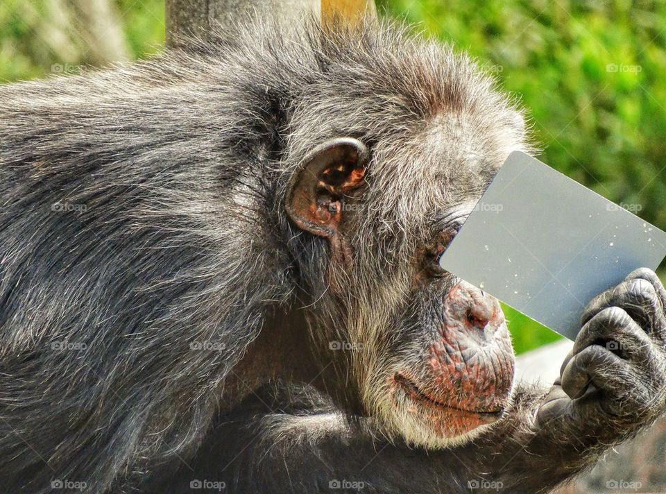 Chimpanzee Playing with a Mirror
