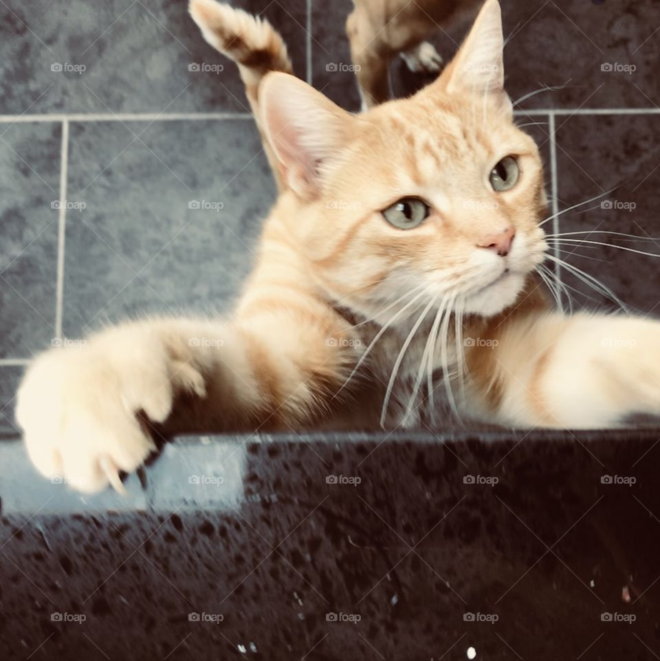 Begging fury ginger domestic cat, gorgeous and very persuasive trying to climb up kitchen cabinet for a snack!