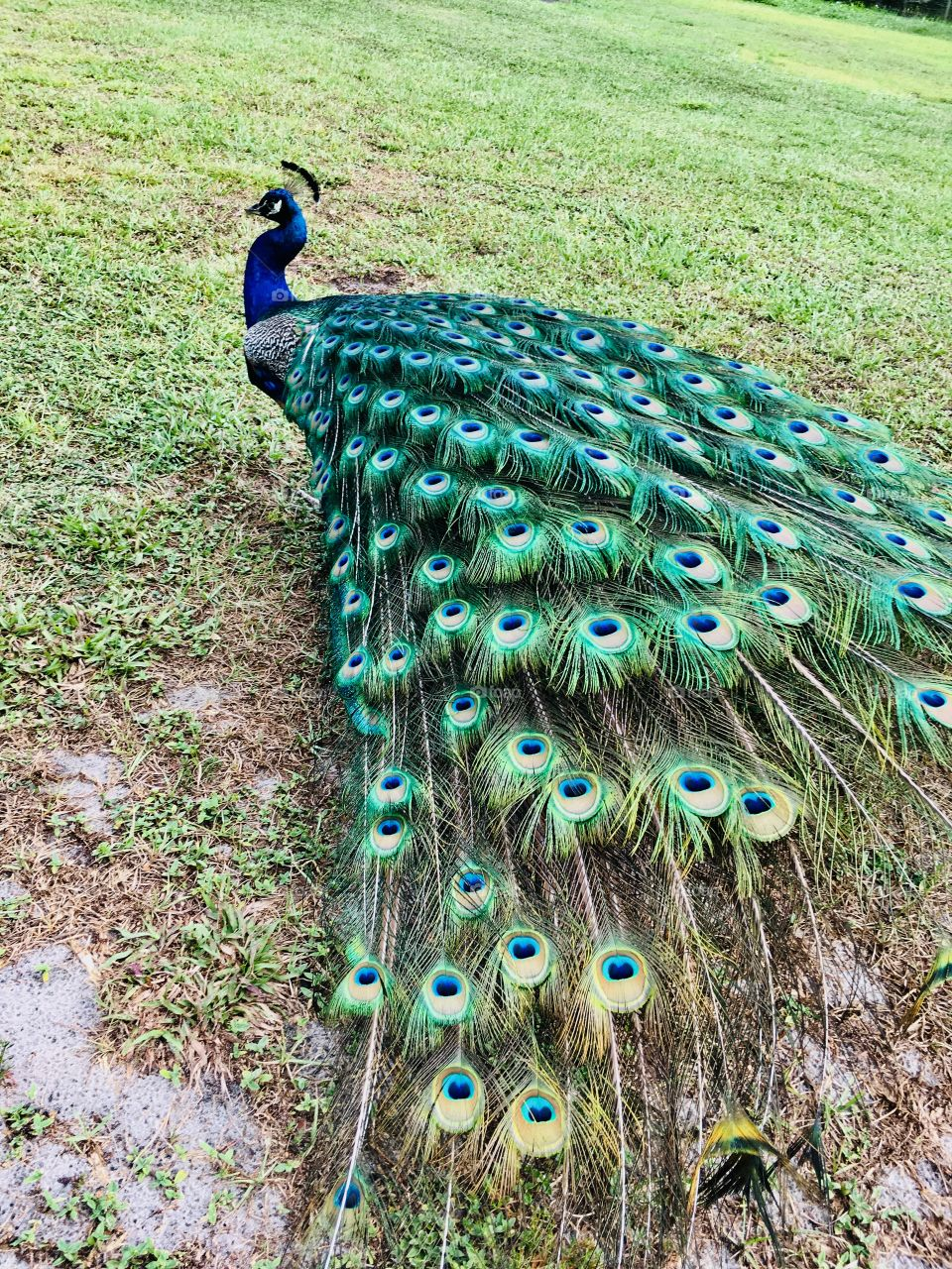 A beautiful peacock in a field of green grass in Florida