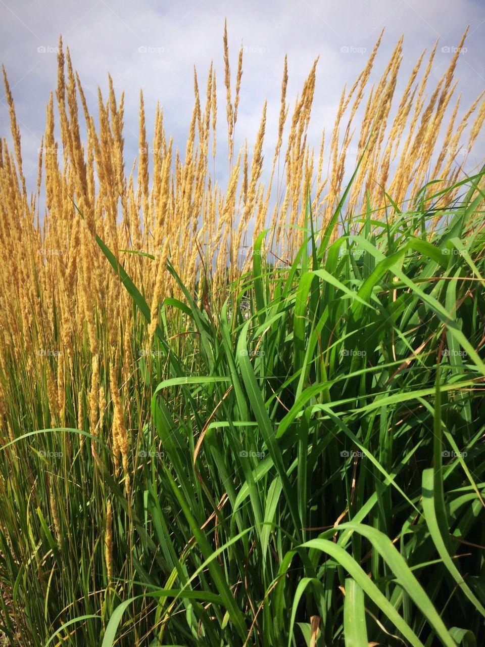 Yellow ornamental wheat