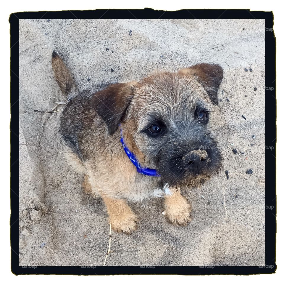 Sandy nosed puppy! . My Border Terrier puppy after digging a hole in the sand at the beach