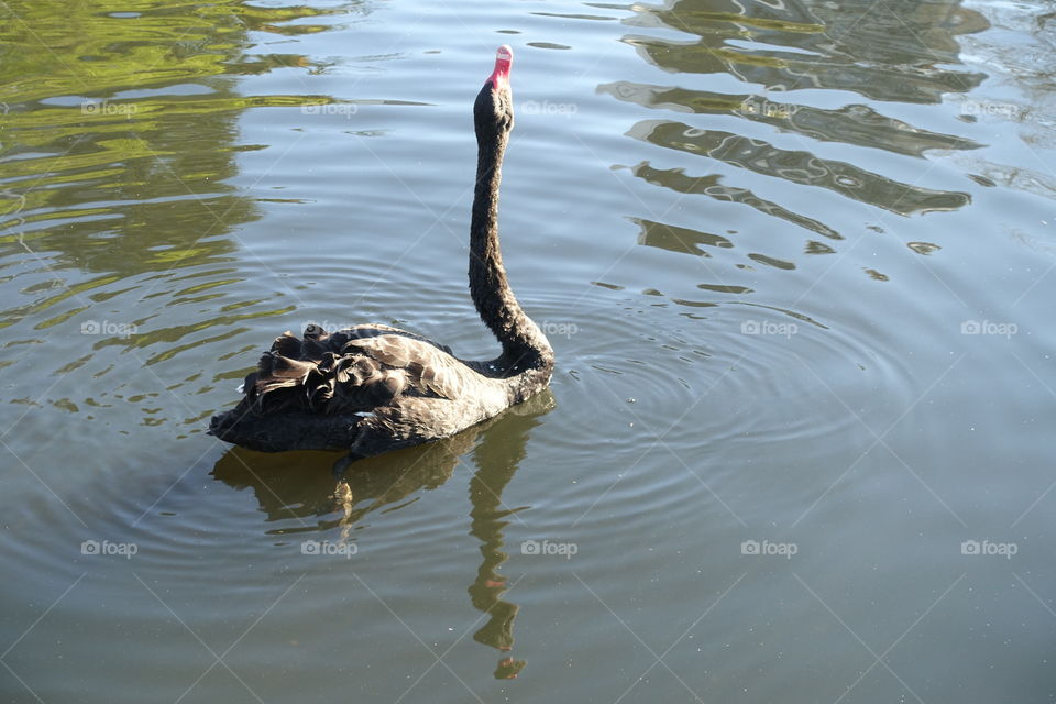 A black swan is drinking water.