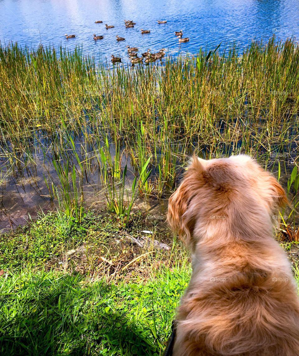 Rear view of dog looking at duck swimming at lake