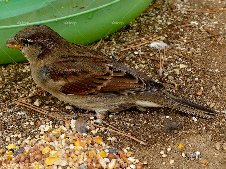 A close up photo of a wild sparrow