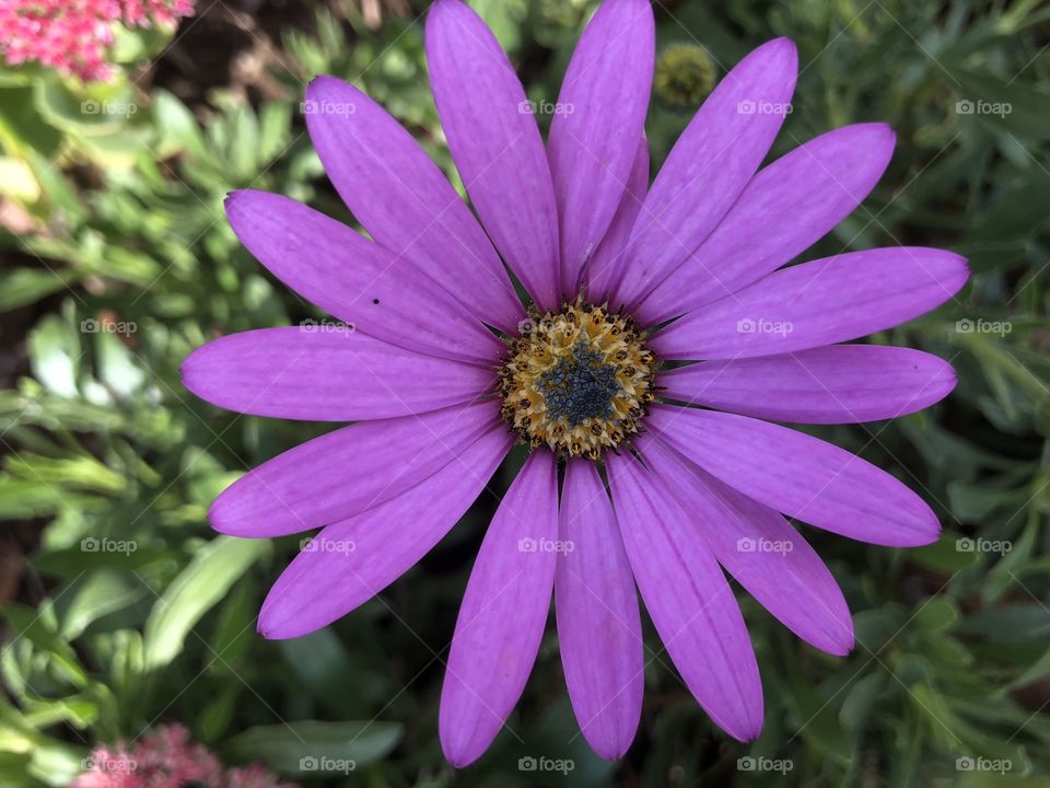 A powerful purple beauty that resembles a daisy like bloom, but burst into life with eccelectric magnitude.