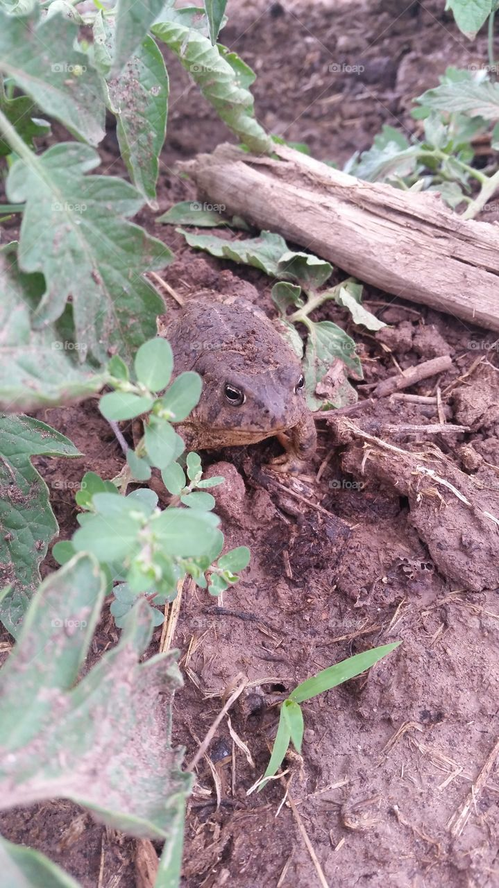 Toad in the Garden. Toad found hiding in the garden shade.