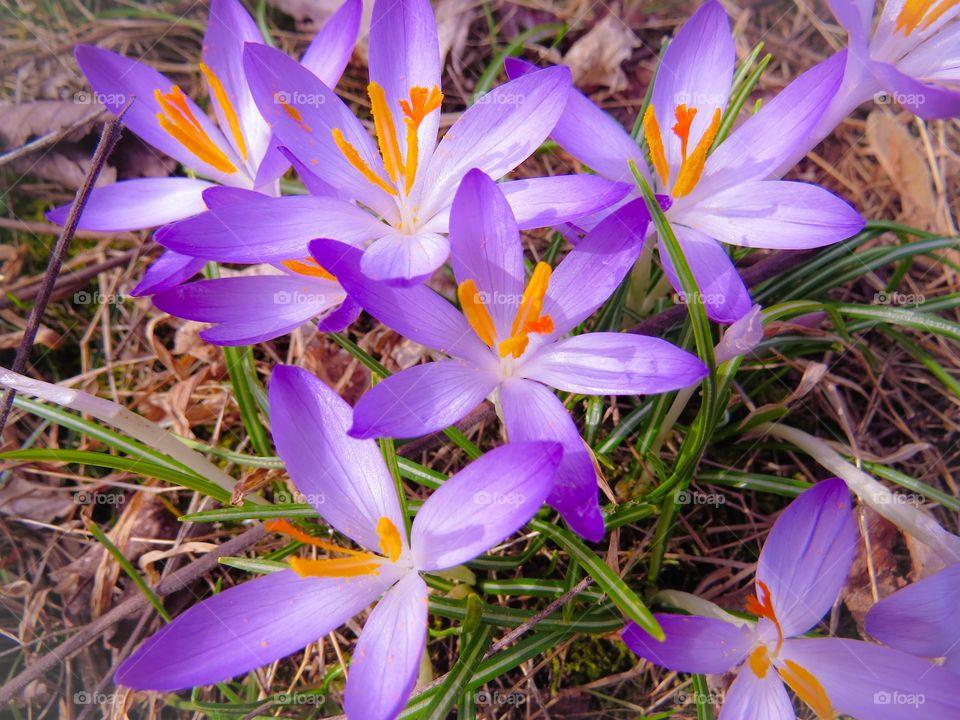 Wild growing purple crocuses.