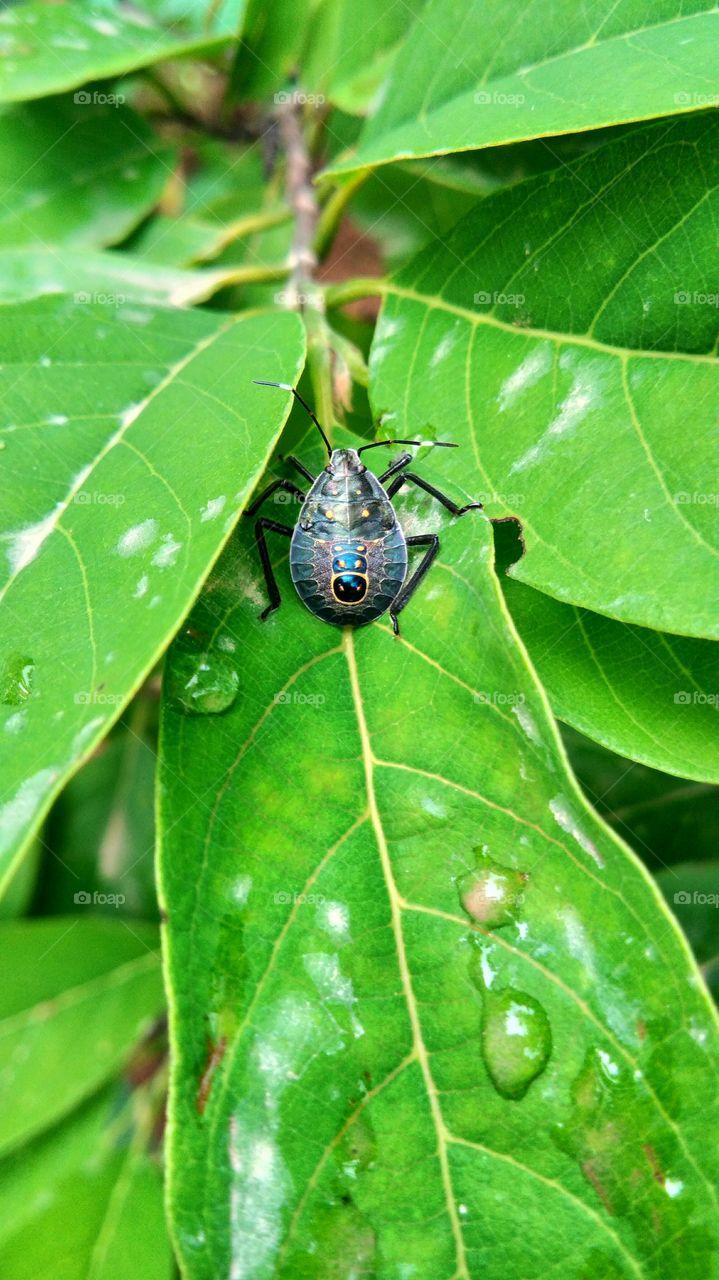 Insect,  Bug,  Beetle Sitting on custard apple leaves.