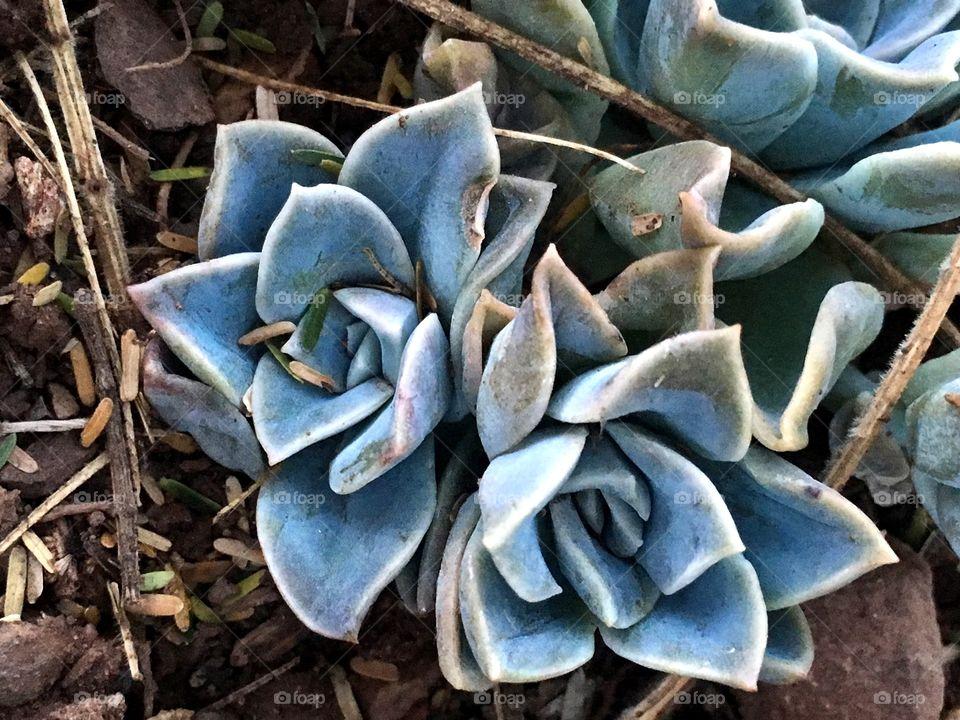 The desert rose succulent plant
