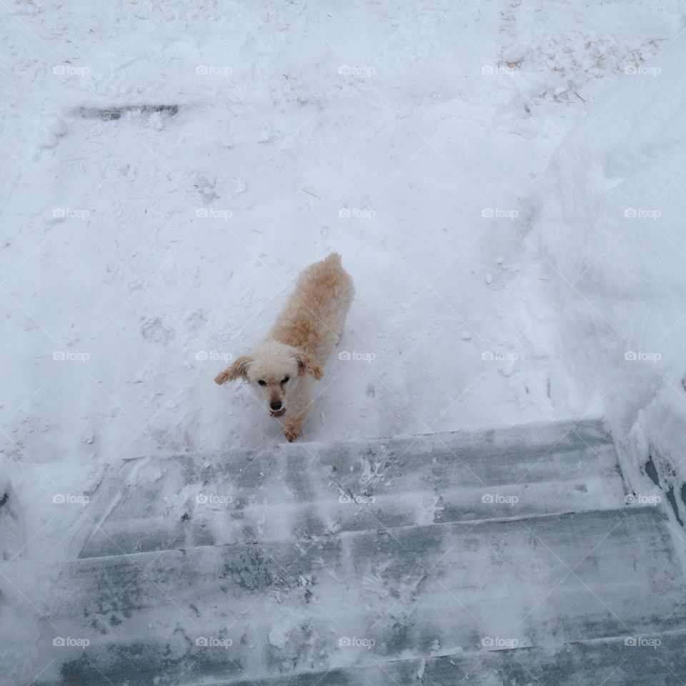 """Older Dog Waiting to be Carried Up Stairs """"HOLD ON MAXWELL, I'M COMING""""  In the snow, white everywhere, my white poodle Maxwell waits to be carried up the stairs. He has a bad back & eyes & can't do it by himself. He's older now so on his own he waits for help!🐾😍"""