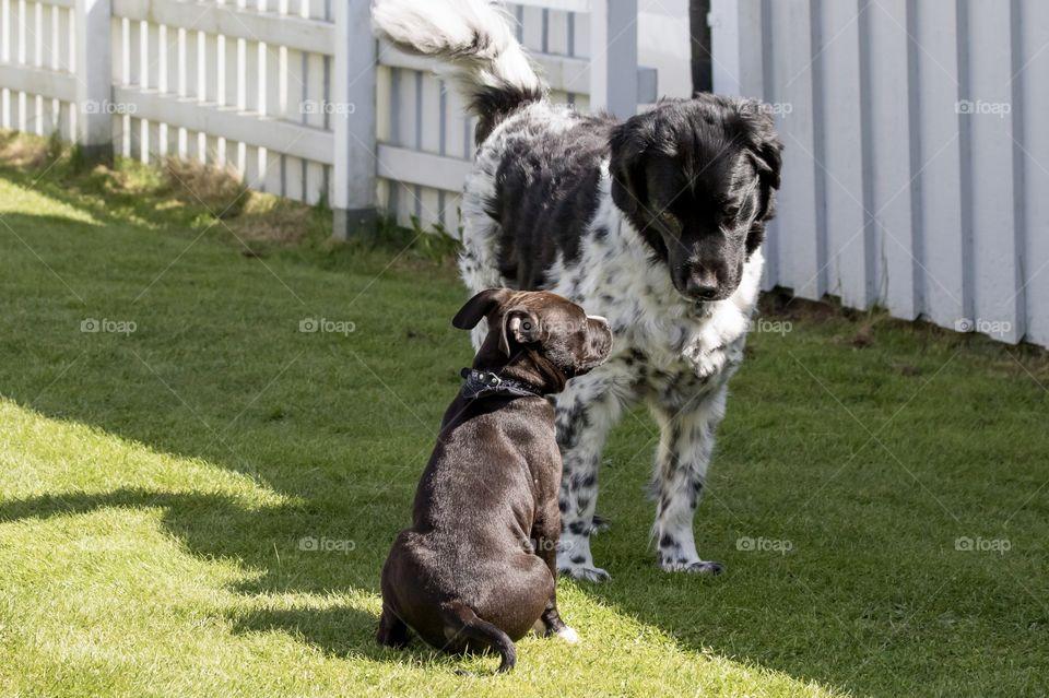 Communication between puppy and older dog - Kommunikation mellan valp och äldre hund
