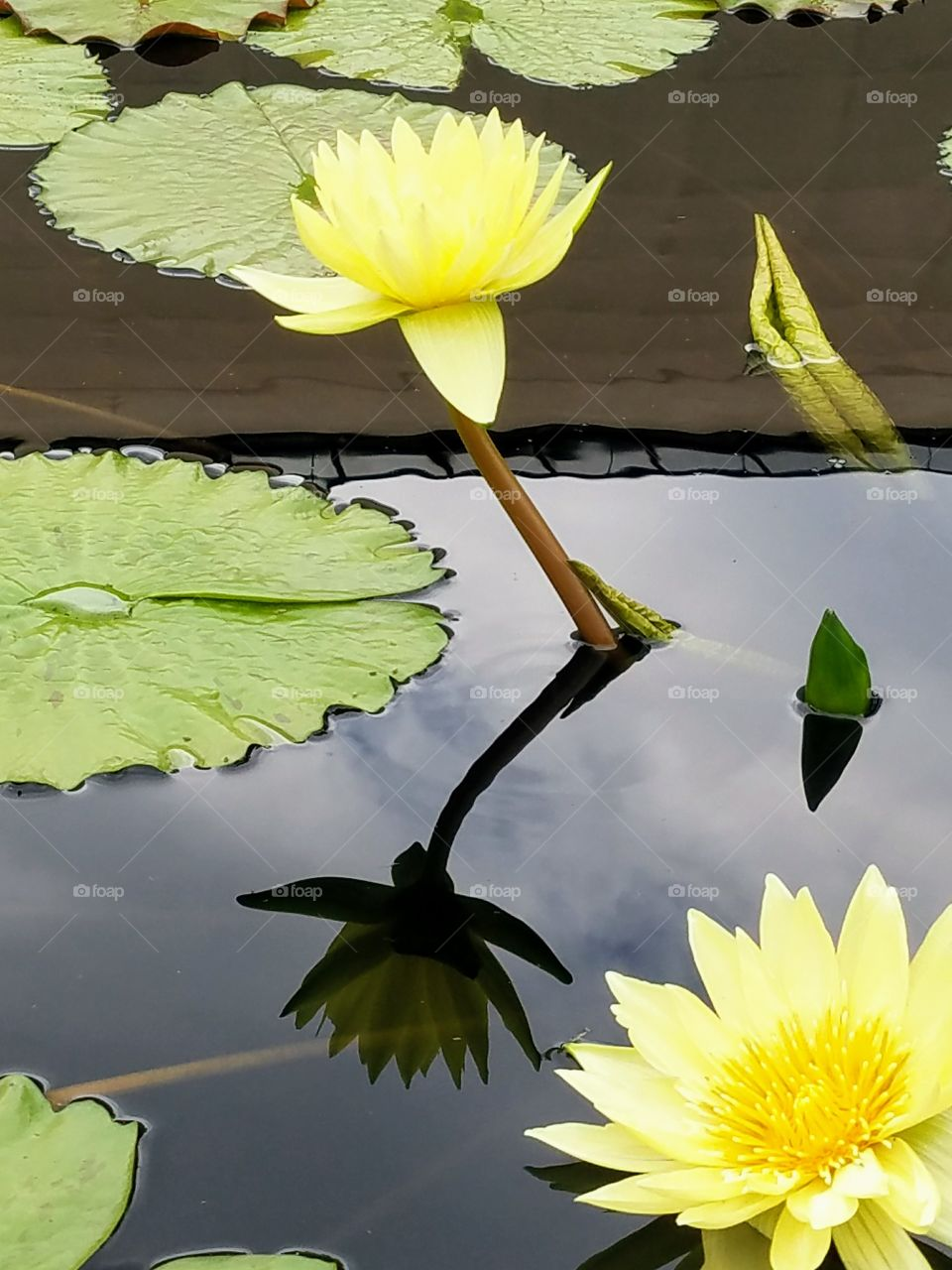 yellow water lily and pad with reflection