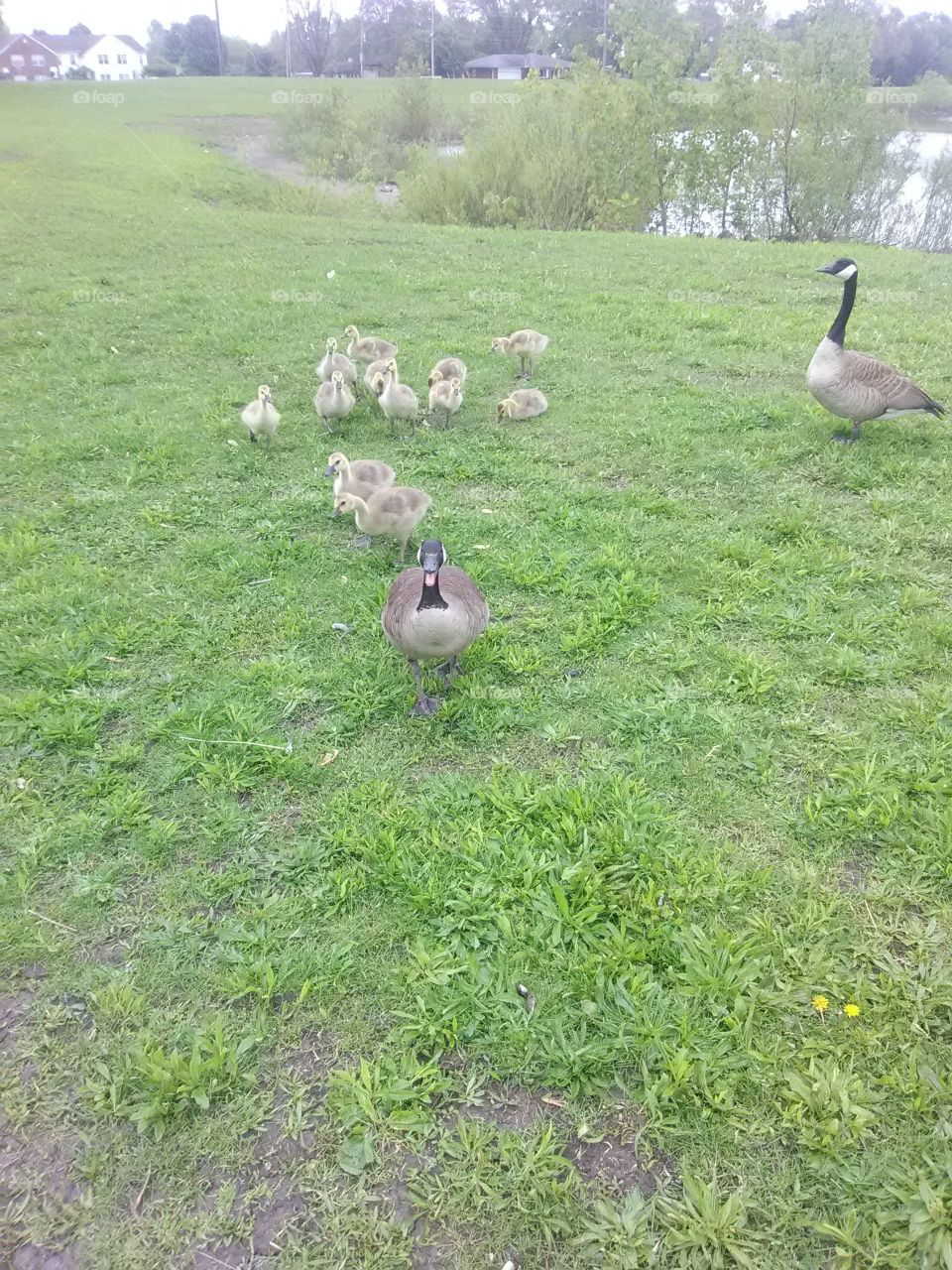 young gooslings  family by peaceful pond.