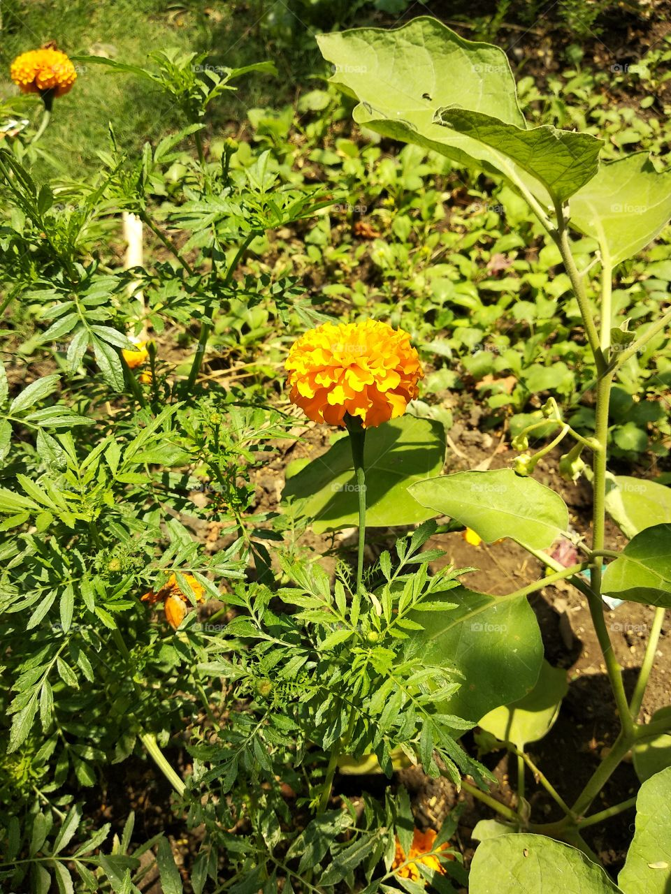 Beautiful Marigold.
