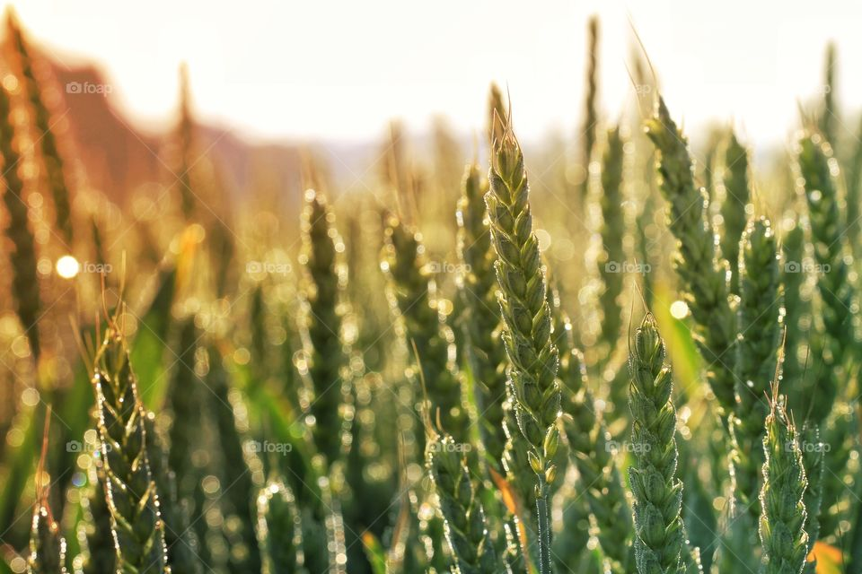 Close-up of green wheat field