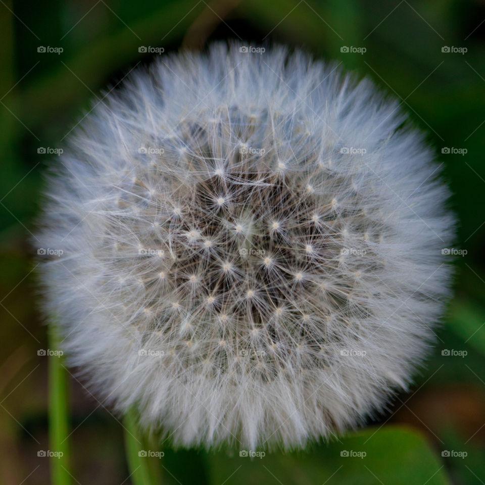 dandelion clock seed head
